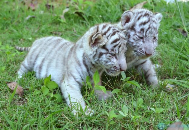 2-tigre-branco-bebe_2431-89